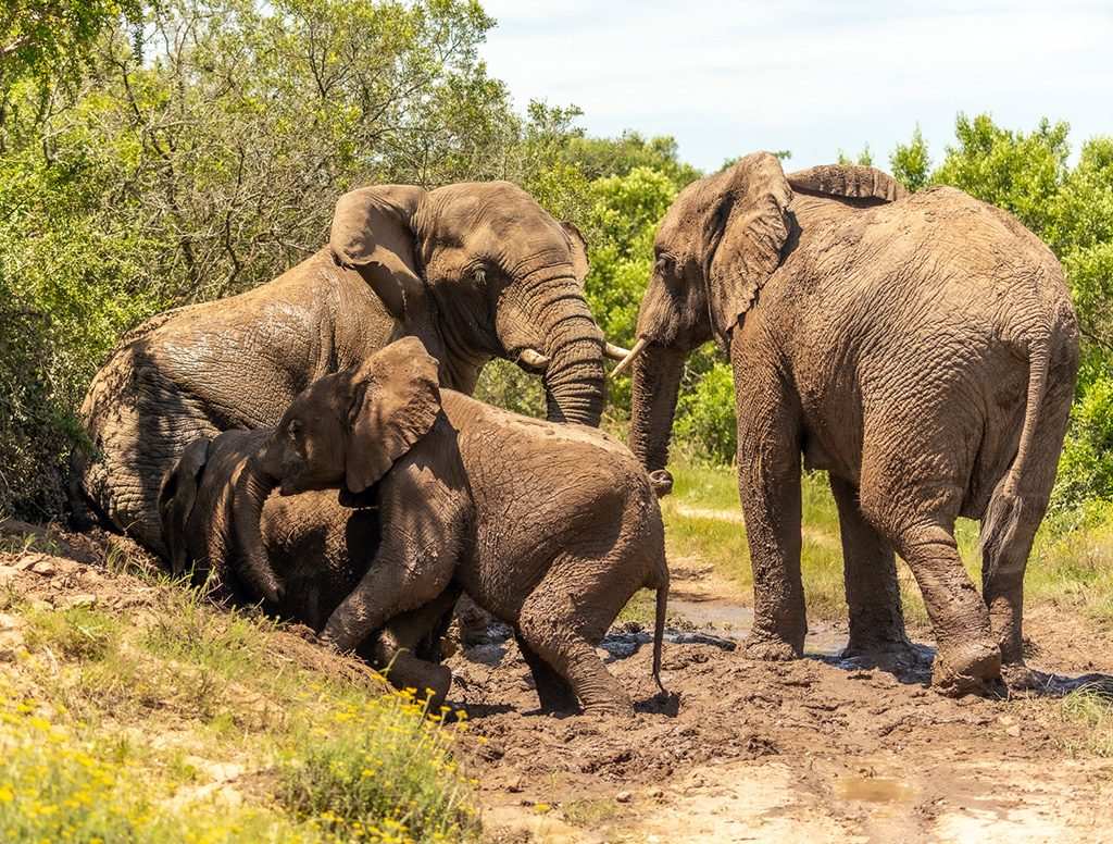 Elephants enjoying the mud at the Kariega Game Reserve, South Africa - photo by Graham Harvey