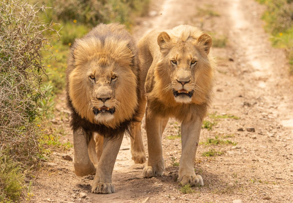 Lions at the Kariega Game Reserve, South Africa - photo by Graham Harvey