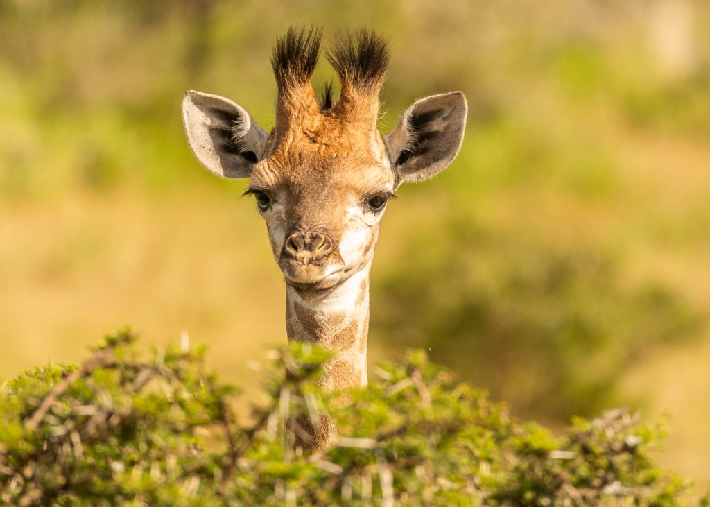 Baby Giraffe at the Kariega Game Reserve, South Africa - photo by Graham Harvey