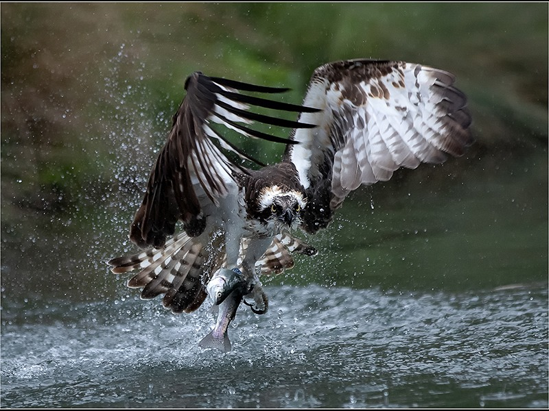 2019 3-Way individual winner 'Osprey With Fish' by Jeremy Broome-Smith of the IOM Photographic Society
