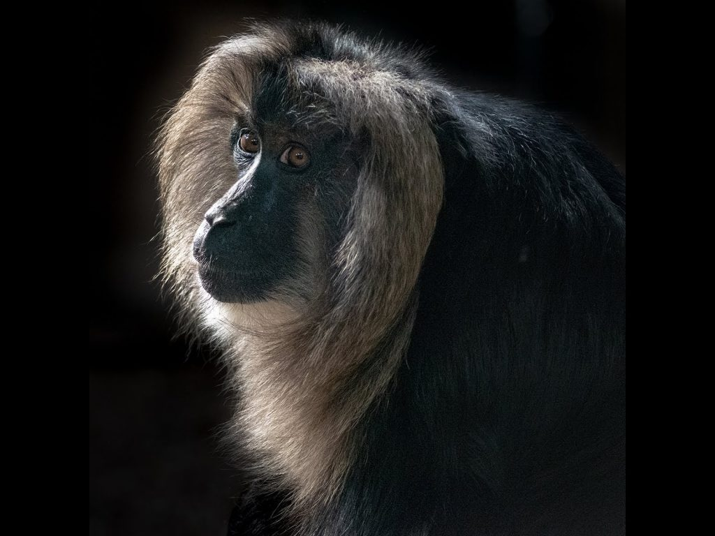 Lion-Tailed Macaque by Georgina Shaw