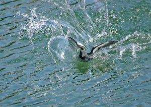 Splashdown!!!! Black Guillemot landing