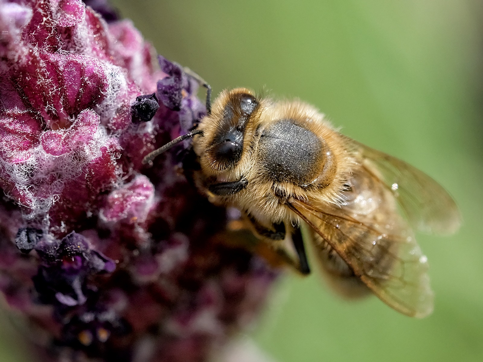 Bee on Lavender by Andrea Thrussell