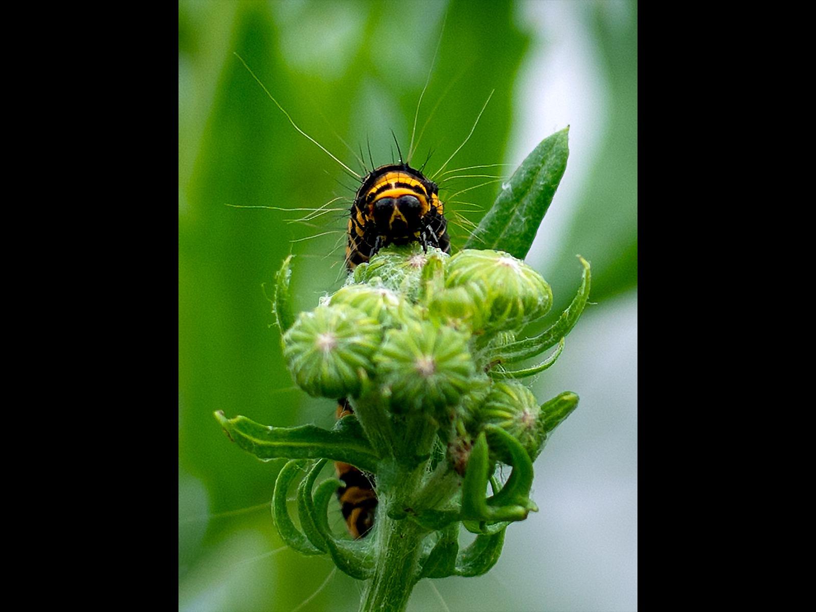 Cinnabar Moth Caterpillar by Georgina Shaw