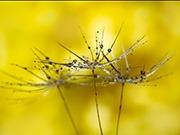 thumbnail Dandelion Drops by Georgina Shaw