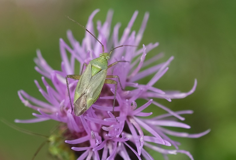 Green bug on purple flower by Andrea Thrussell