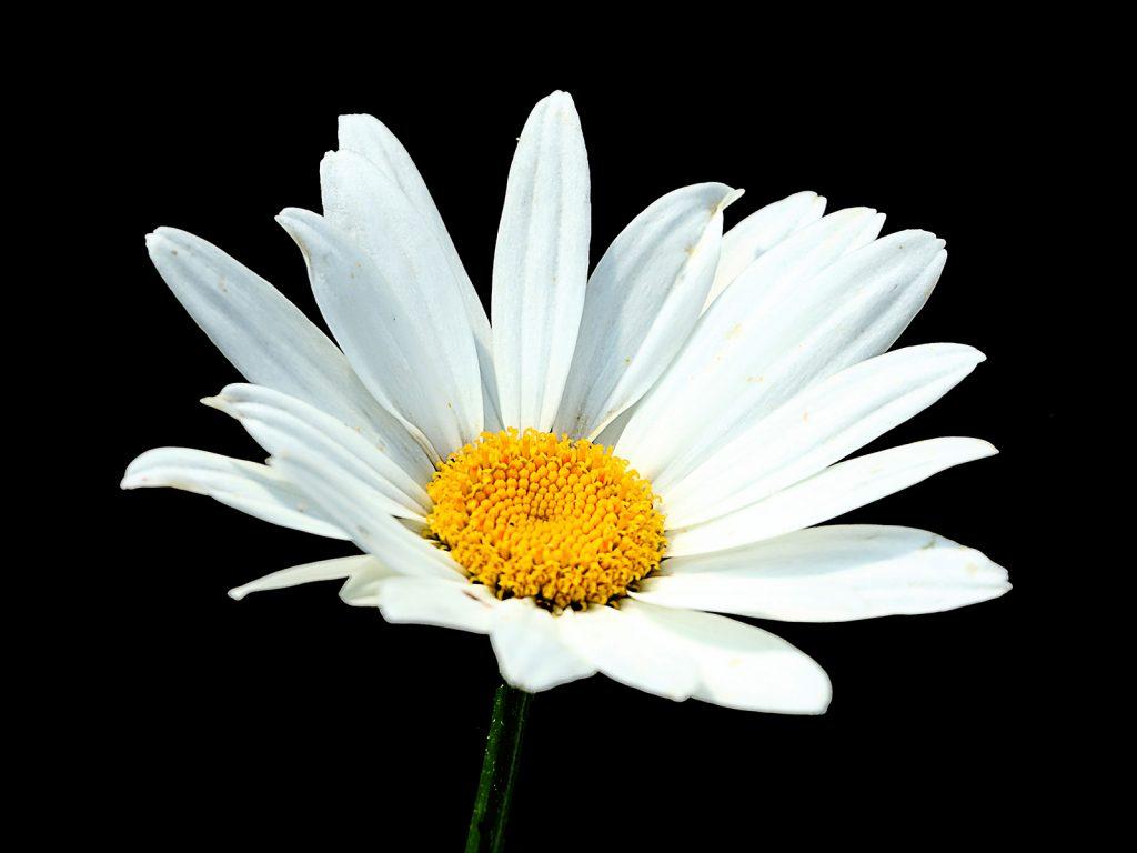 Daisy by John Keelan